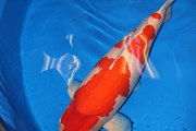 [Video] Ngắm chú cá chép Koi dài hơn 1m đắt giá nhất thế giới