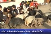[Video] Lạc lối giữa một bảo tàng ... Lợn tại Incheon Hàn Quốc