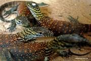 Bảo vệ loài thằn lằn lớn nhất thế giới, Indonesia đóng cửa đảo Komodo