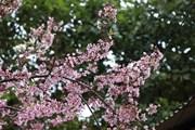 Say đắm với sắc hoa Tớ Dày bung nở lộng lẫy núi đồi Tây Bắc