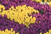 [Video] Đến Thổ Nhĩ Kỳ chiêm ngưỡng thảm hoa Tulip lớn nhất thế giới