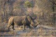 [Video] Tiêm thuốc độc vào sừng tê giác để chống săn bắt trộm