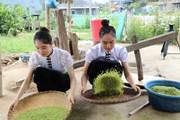 [Photo] Nếp Tú Lệ - Đặc sản thơm ngon nổi tiếng của vùng núi Yên Bái