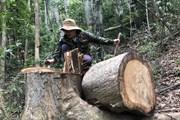 """[Photo] Lâm tặc ngang nhiên """"xẻ thịt"""" rừng phòng hộ ở Quảng Ngãi"""