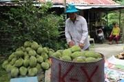 Nâng cao chuỗi giá trị trái cây đặc sản: Chất lượng gắn với thị trường