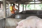 Đắk Lắk: Không để lây lan dịch bệnh trên đàn gia súc, gia cầm