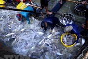 Xuất khẩu cá tra đề mục tiêu đạt kim ngạch 2,4 tỷ USD năm nay