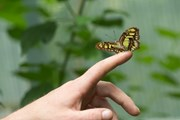 [Photo] Chiêm ngưỡng 21 loài bướm nhiệt đới đẹp mắt tại Hungary