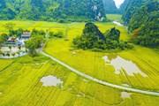 [Photo] Vẻ đẹp mùa lúa chín vàng bao quanh đền cổ Thái Vi