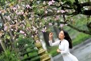 [Photo] Dịu dàng mùa hoa ban tháng 2 trên đường phố Thủ đô