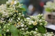 [Photo] Phố phường Hà Nội ngát hương thơm mùa hoa bưởi