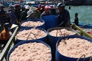 [Photo] Ngư dân Phú Yên trúng đậm ruốc, cá hố chuyến biển đầu năm