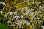 [Photo] Điện Biên: Ngắm hoa ban bung nở trên núi rừng Tây Bắc