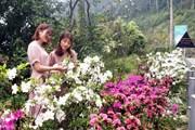 [Photo] Lên Tam Đảo ngắm hoa đỗ quyên bung nở khoe sắc