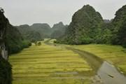 [Photo] Ninh Bình: Đặc sắc cánh đồng lúa mùa gặt ở Tam Cốc