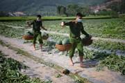 Thanh niên công an huyện Yên Dũng giúp người dân thu hoạch nông sản