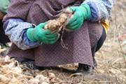 Người dân Hà Quảng trồng gừng hữu cơ tiến ra thị trường thế giới