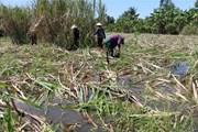 Hàng nghìn hécta mía tại Hậu Giang bị ngập trong nước lũ