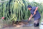 Bình Thuận: Vườn thanh long ngập nước, có nguy cơ thối rễ