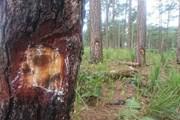 Lâm Đồng: Hàng trăm cây thông bị ''đầu độc'' bởi hóa chất