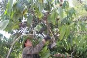 Đắk Lắk không tăng diện tích càphê ngoài vùng quy hoạch
