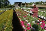[Photo] Làng hoa các địa phương đang hối hả vào vụ Tết