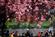 Chiêm ngưỡng hoa anh đào nở rộ tại thành phố Côn Minh