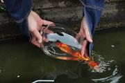 Thả cá chép ngày ông Táo - nét đẹp văn hóa của người Việt