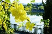 Muồng hoàng yến rực vàng bên bờ sông Nậm Rốm lịch sử