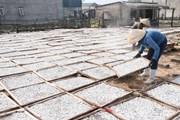 Nghề truyền thống hấp cá phơi khô ở Quảng Trị vào vụ chính