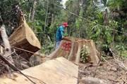 Khởi tố, bắt tạm giam 2 bị can liên quan vụ phá rừng Nam Giang
