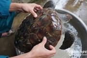 Nghệ An: Ngư dân giải cứu một cá thể rùa biển quý hiếm