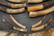 Hà Nội: Truy tố đối tượng vận chuyển ngà voi sang Thái Lan