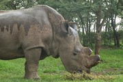 Nỗ lực chống nạn săn trộm tê giác tại Nam Phi có hiệu quả