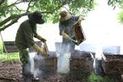 [Photo] Mật ong hoa nhãn - món quà đặc sản nổi tiếng của Hưng Yên