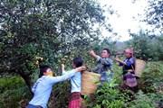Sơn La: Khó khăn tìm đầu ra cho quả sơn tra ở các xã vùng cao