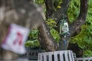 [Photo] 'Truyền dịch cấp cứu' hàng cây sưa đỏ bạc tỷ ở Hà Nội