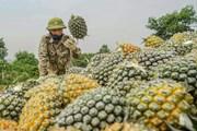 Không khí rộn ràng mùa thu hoạch trên nông trường dứa Đồng Giao
