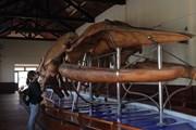 Đến thăm nơi giữ bộ xương cá voi lớn nhất Đông Nam Á tại Bình Thuận