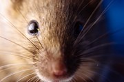 Argentina: Dịch virus Hanta lây lan làm 9 người thiệt mạng