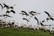 Những hình ảnh về chuyến di cư mùa Xuân của loài hạc trắng