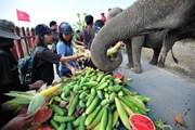 Người dân Thái Lan tự tay cho voi ăn trong Ngày voi quốc gia