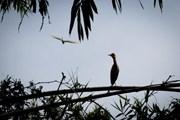 Ngắm những loài chim quý tại khu bảo tồn sinh thái Đồng Tháp Mười