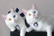 Ngắm cặp mèo song sinh gây sốt mạng xã hội vì cặp mắt dị sắc