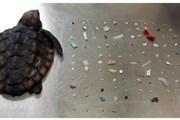 [Video] Phát hiện hàng trăm mảnh nhựa trong dạ dày của rùa con