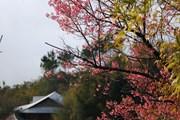 Hình ảnh lung linh sắc hoa Tớ Dày vùng cao Mù Cang Chải
