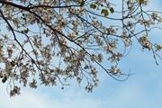 Chiêm ngưỡng vẻ đẹp thuần khiết của sắc hoa ban núi rừng Tây Bắc