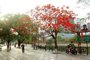 [Photo] Về Hải Phòng ngắm hoa phượng đỏ rực rỡ trong tháng 5