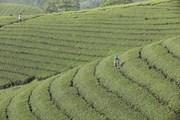 [Photo] Người dân Long Cốc thoát nghèo từ nghề trồng chè
