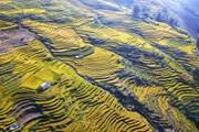 [Photo] Dải lụa vàng ở độ cao hơn 2.000m nơi đại ngàn Y Tý